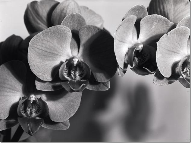 Orchidee 2 bw 4800 klein