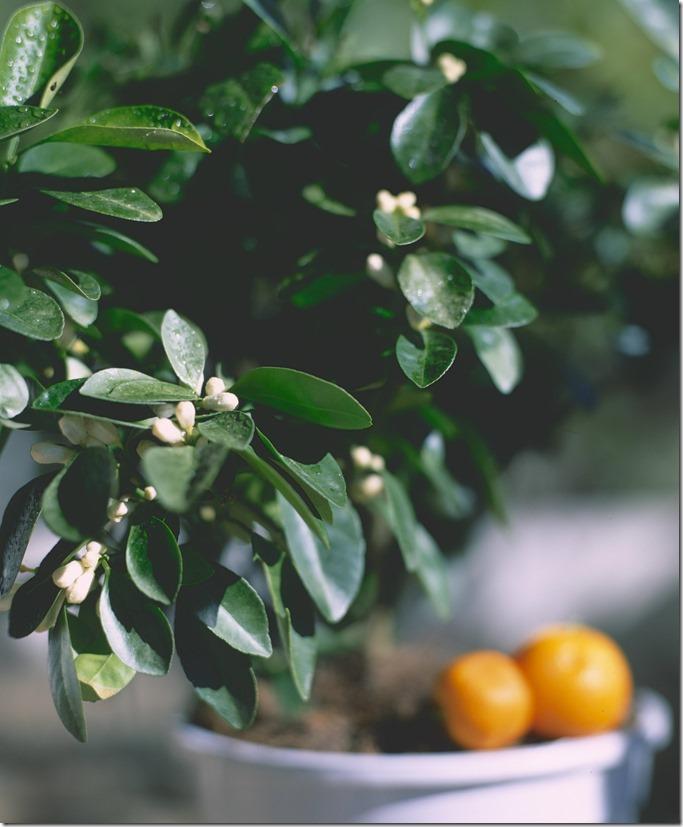 Orange tree C 3200