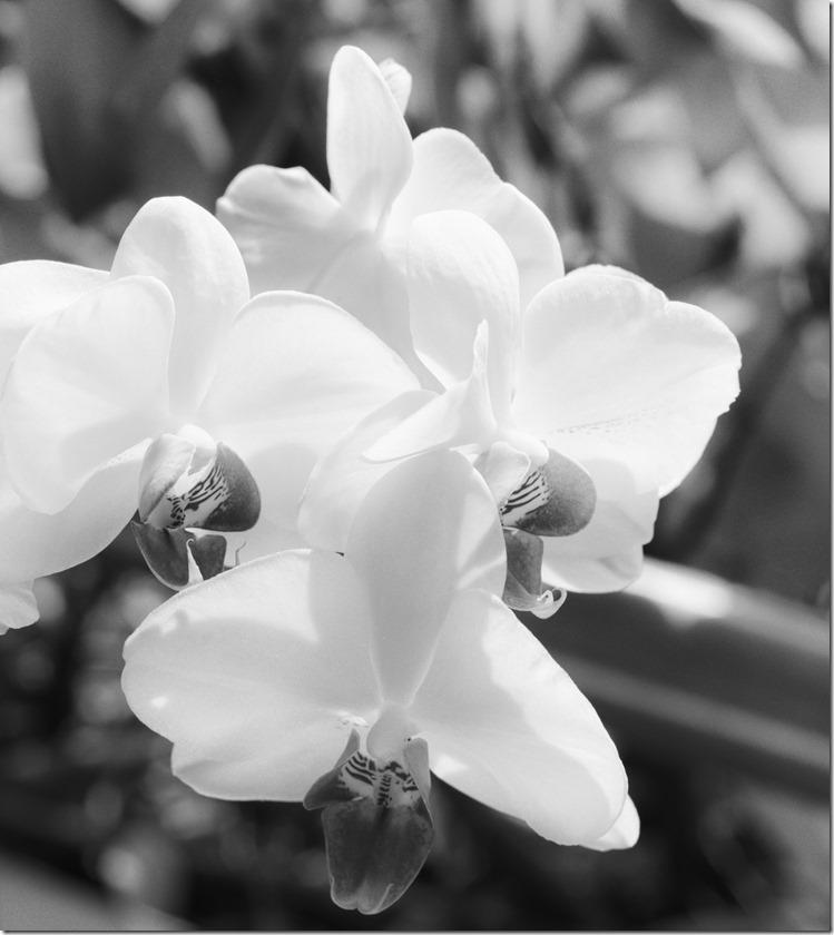 Orchidee 3 BW 2400